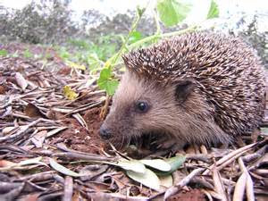 A hedgehog looking for somewhere to hibernate