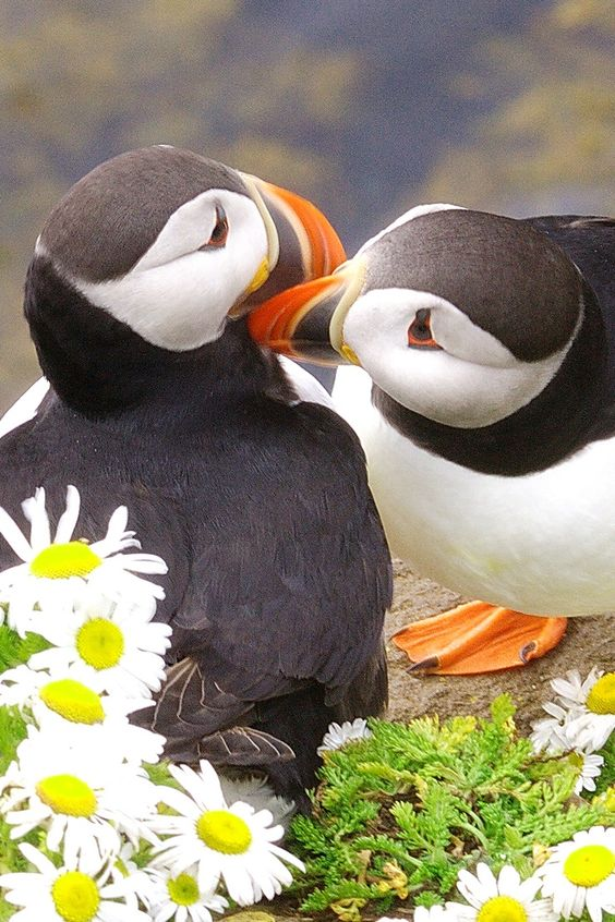 The Atlantic Puffin (Fratercula arctica) | Our World's 10 Beautiful and Colorful Birds