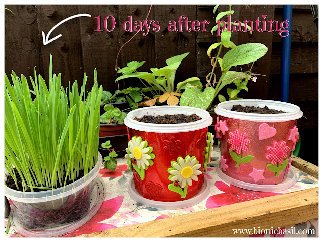 How to Grow Cat Grass at BBHQ c ©BionicBasil® Craft-Fest Day 5 + Happy Grass Pots