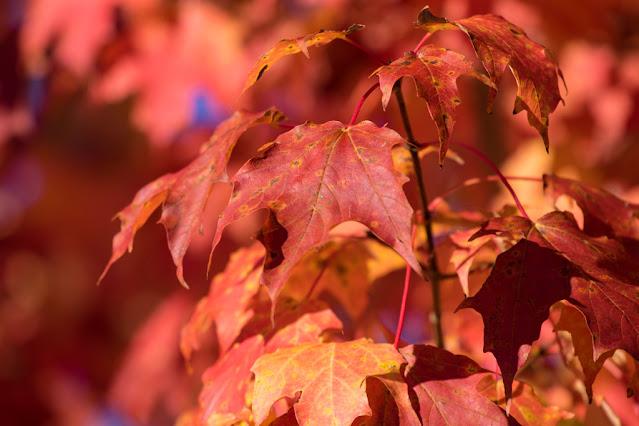 Foglie rosse-Foliage-New England