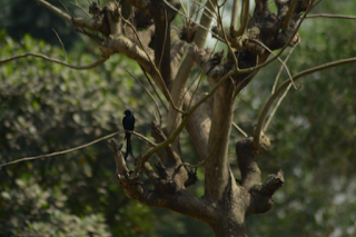 Black drongo bird on a tree picture
