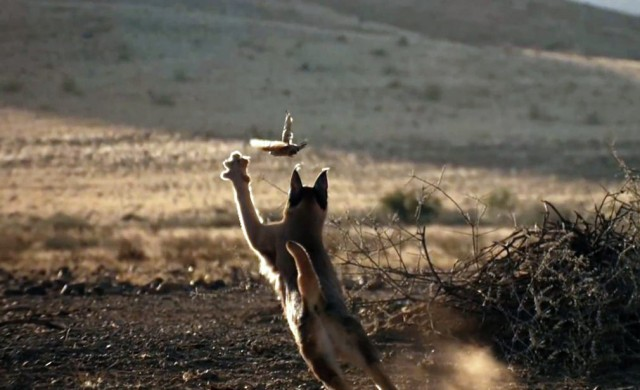 O caracal distribui-se por estepes e desertos, mas também por florestas e savanas da África e Sudoeste Asiático.