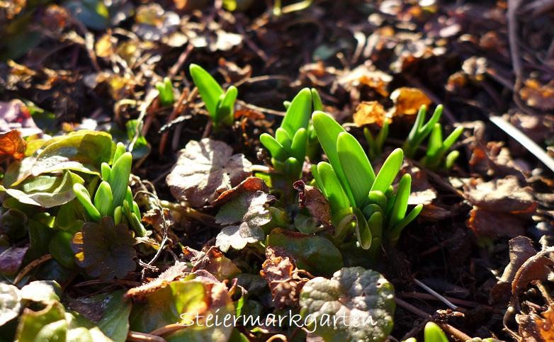 Jännergarten-Frühlingsblüher-Steiermarkgarten