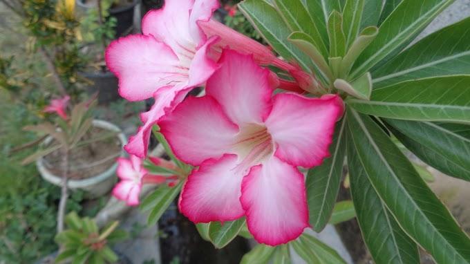 Bunga Indah Berwarna Pink