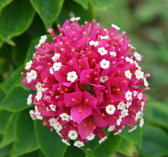 Tanaman hias bunga bougenville Singapore merah cabe batang besar siap berbunga ORIGINAL Bekasi