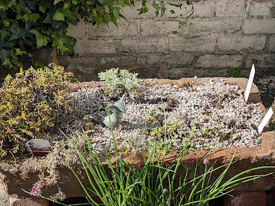 trough with alpines