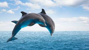 Image showing Dolphins in fresh water
