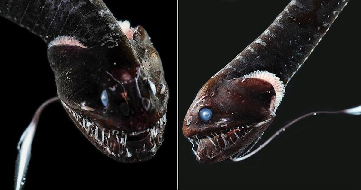 Biologists Discover 16 'Ultra Black' Fish Species That Absorb 99.9% Of Sunlight