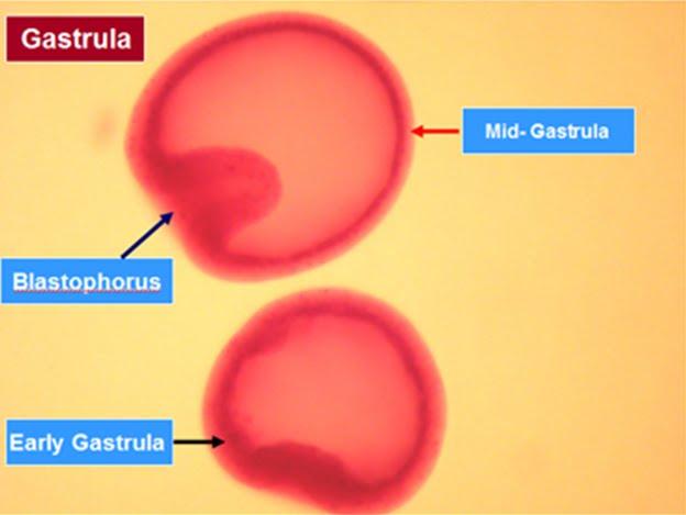 DASAR PEMULIAAN Tahap Perkembangan Embrio
