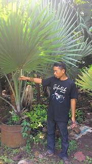 Jual tanaman palm.bismarkia silver