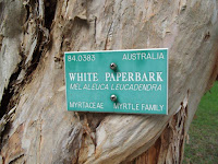 White paperbark tree close up - Ho'omaluhia Botanical Garden, Kaneohe, HI