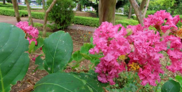 大きく咲いたサルスベリの花