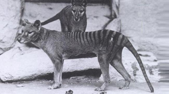Lobo-da-tasmânia/Reprodução