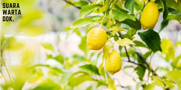 Ilustrasi buah lemon yang bagus untuk kesehehatan_Suara Warta Online
