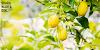 Manfaat air buah lemon hangat dan khasiatnya pada tubuh