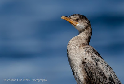 Perched Cormorant: Canon EOS R at ISO 100 / 400mm (without 1.4x Extender)