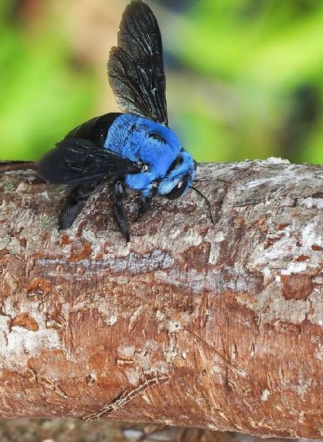 أنواع حشرات الخشب المنزلية