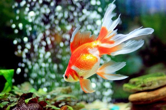 Japon balığı – J hayvan isimleri