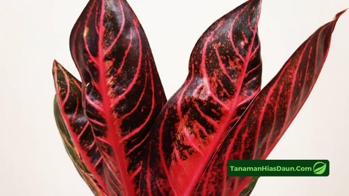 Cara-Budidaya-Aglaonema-Pride-of-Sumatera