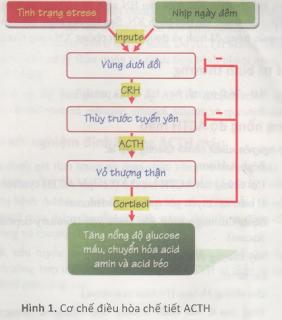 chỉ số ACTH, ACTH giảm khi nào, ACTH tăng khi nào, Các bệnh liên quan đến chỉ số ACTH. Tuyến thượng thận và ACTH. sinh lý ACTH