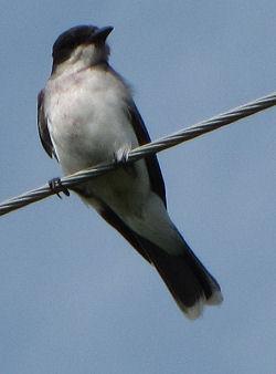 kingbird front view
