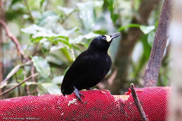 Wisata nonton burung surga di Papua Barat