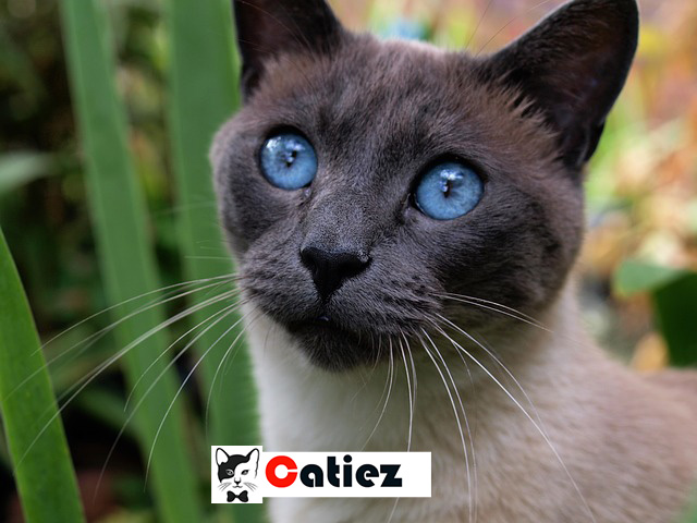 Siamese Cat - all you want to know about Siamese Cats
