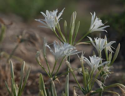 Sea Daffodil (Pancratium maritimum)
