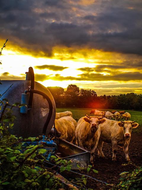 Koeien in de vroege ochtend
