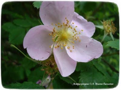 цветущий шиповник, цветок розоцветное, пять