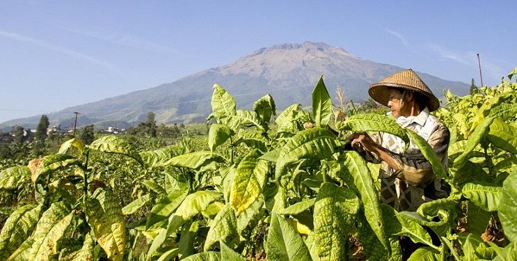 Indonesia, Negara dengan Petani Tembakau Terbesar di Dunia