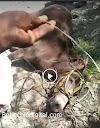 Salvó la vida de milagro, pero su mula murió electrocutada en montaña de Padre Las Casas-VIDEO