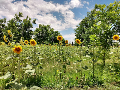 Tall sunflowers blooming in summer in las cruces