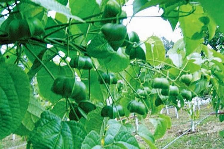 ปลูก ถั่วดาวอินคา ถั่วอินคา พืชทางเลือกใหม่ รายได้ดี ตลาดมีความต้องการ