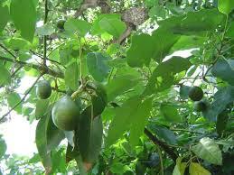 Κάθε χρόνο στη χώρα μας καταναλώνονται περίπου 7.000 τόνοι αβοκάντο