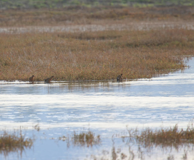 Ridgway's Rails flooded out by King Tide in Tijuana River Estuary