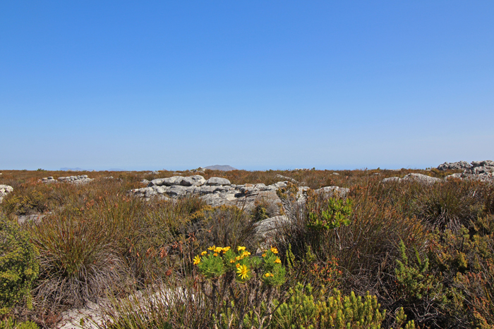 Fynbos auf dem Tafelberg