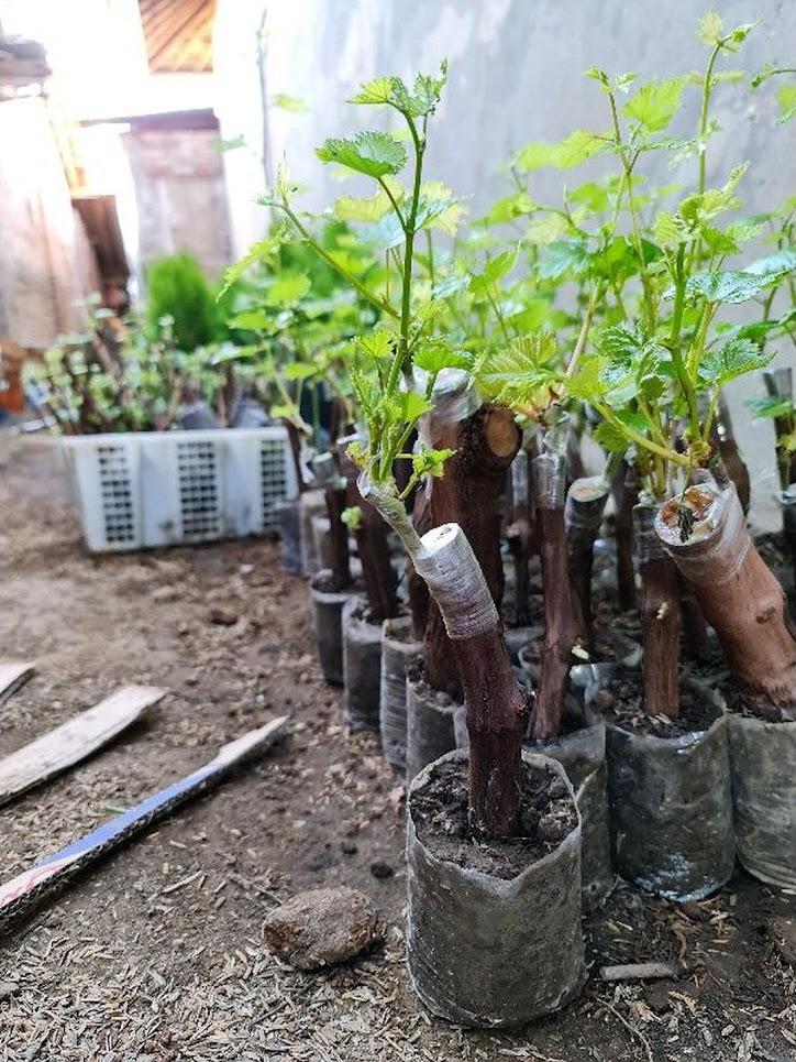 Bibit anggur import jenis transfiguration Nusa Tenggara Barat