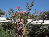 Malaga climbing rose - Wellington Botanic Garden, New Zealand