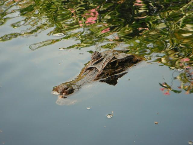 cocodrilo en el agua