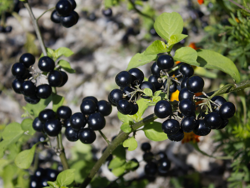 Rurification: Garden Huckleberries Final Report
