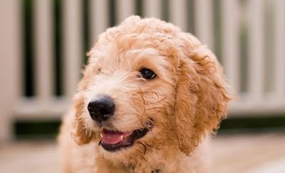 F3 labradoodle Temperament, Size, Lifespan, Adoption