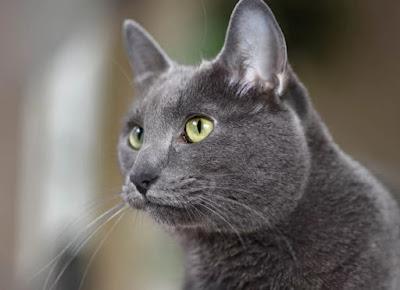 Karakter Ras Kucing Korat