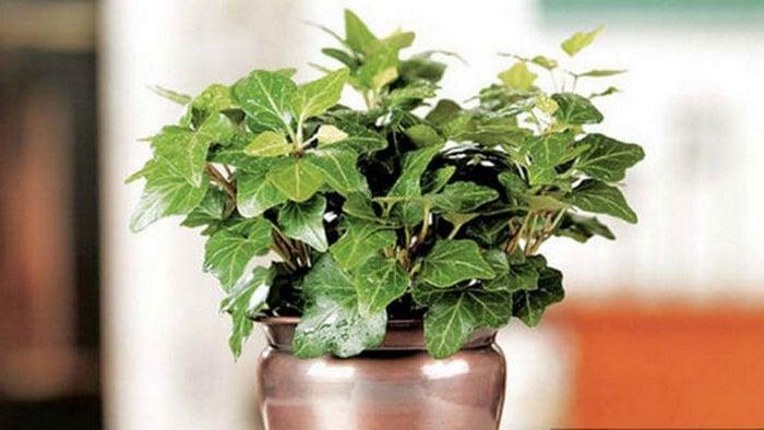 5 Tanaman yang bermanfaat untuk membantu anda tidur lebih baik, english ivy poisonous, grow english ivy indoors, english ivy care indoor, english ivy plant, clementis, english ivy cats, english ivy invasive, hedera helix medicinal uses, hedera helix care, hedera helix cough medicine, hedera helix jarabe, hedera helix poisonous, palem bambu, hedera helix indoor plant, hedera helix homeopathic remedy, khasiat anggur hijau, anggur hijau pacitan, kiwi, anggur hijau batu raja, anggur hijau batu, anggur hijau untuk ibu hamil, anggur hijau baturaja, gambar anggur hijau, how to take care of a ivy plant, growing ivy indoors, indoor ivy types, hedera helix houseplant, ivy jubilee