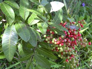 Os Segredos da Árvore Aroeira - Pimenta Brasileira