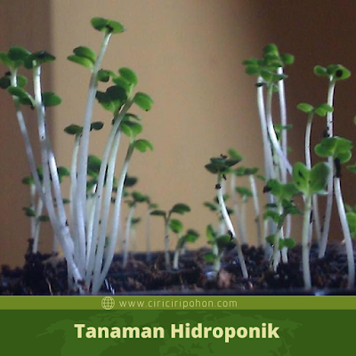 Ciri Ciri Pohon Hidroponik Etiolasi