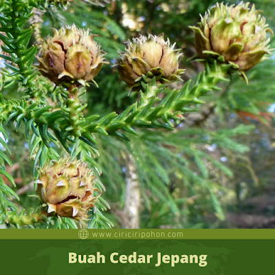 Ciri Ciri Buah Cedar Jepang