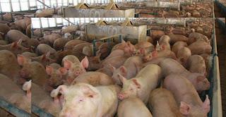 Pig Farming Business