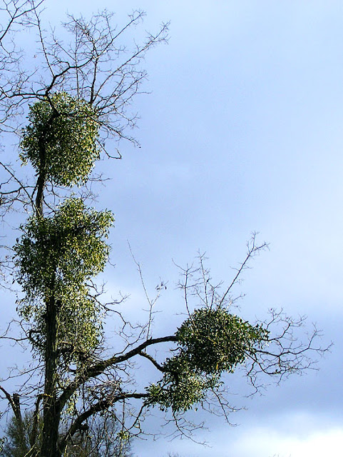 Mistletoe Viscum album.  Indre et Loire, France. Photographed by Susan Walter. Tour the Loire Valley with a classic car and a private guide.