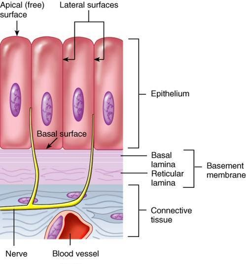 Man's Physique: Characteristics Of Epithelial Tissue